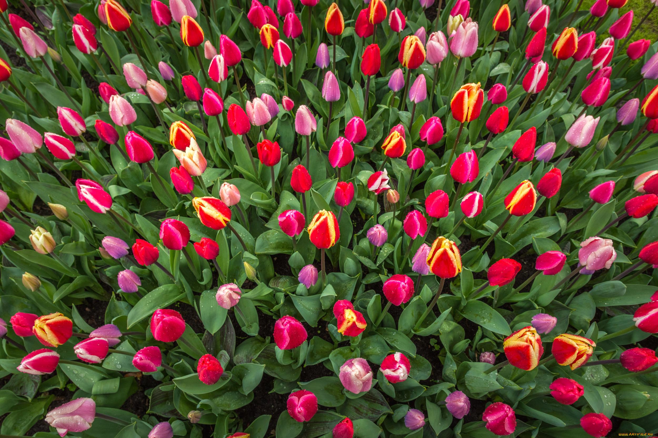 Картинка цветов тюльпаны